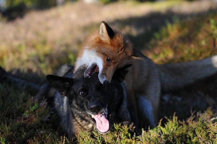 Tinni e Snusen: cane e volpe amici per il pelo - D - la Repubblica