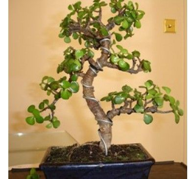 how to take care of jade plant indoors