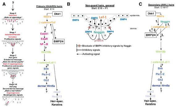 B-Catenin 과 Wnt 단백질의 형성이 탈모치료에 중요한 역할을 담당한다.  Molecular principles of hair follicle induction and morphogenesis