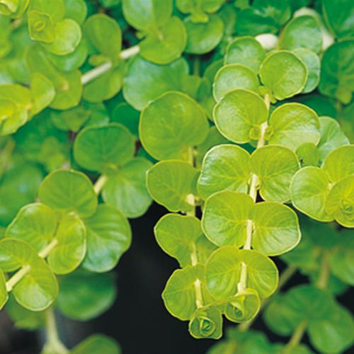 Goldilocks- CREEPING JENNY ;(Lysimachia nummularia)  LIGHT REQUIREMENT:    Part Sun to Sun   BLOOM TIME:    Grown for Foliage   HARDINESS ZONES:   3a, 3b, 4a, 4b, 5a, 5b, 6a, 6b, 7a, 7b, 8a, 8b, 9a, 9b, 10a, 10b   USES:    Landscape & Container   USES NOTES:   Use in hanging baskets, containers and window boxes   DURATION:    Perennial   WATER CATEGORY:    Average   MAINTENANCE NOTES:   Self-cleaning, no deadheading necessary.