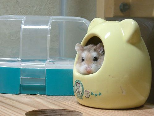 An adorable dwarf hamster in a little hamu house. This is SO Japanese... #hamsters