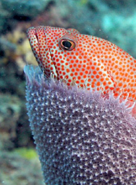 70 Best Lapu Lapu Images On Pinterest Grouper Fish Fish