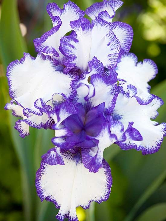 Bearded irises grace spring gardens with color and perfume..