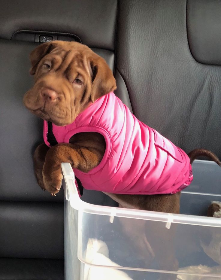 Mini Shar Pei Puppies For Sale In Florida Ideas
