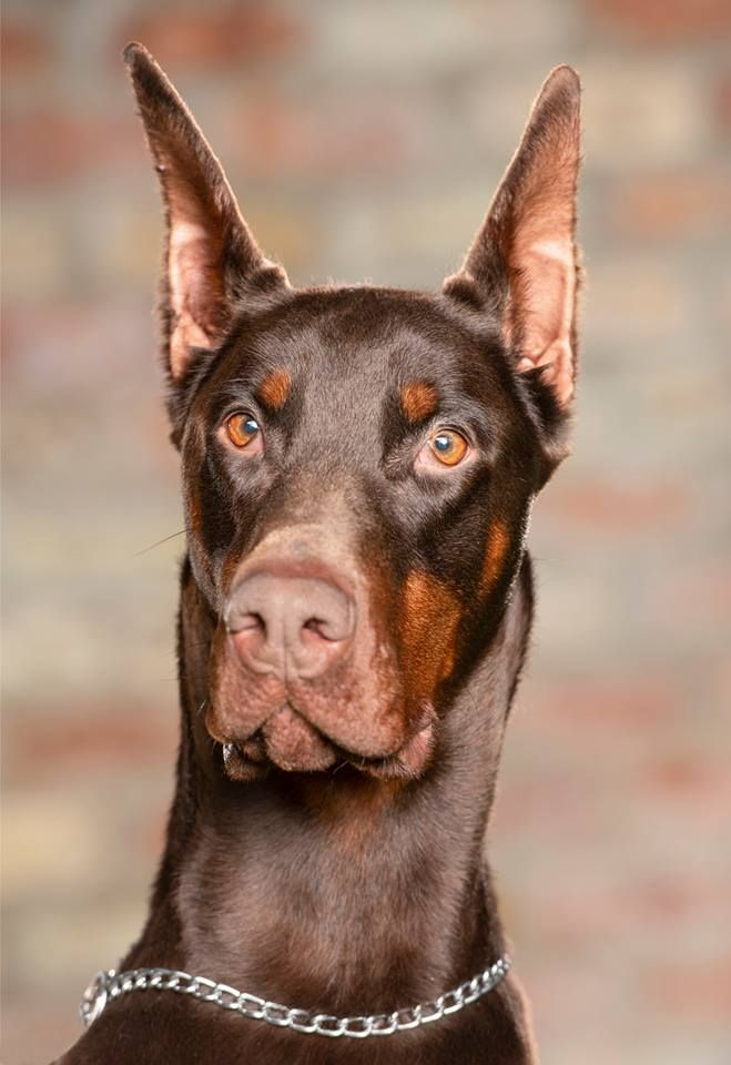 Tarius Doberman Protection Dogs Available For Sale 44 0 785