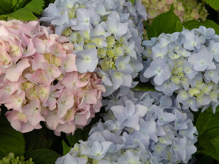 When and how to prune hydrangeas?
