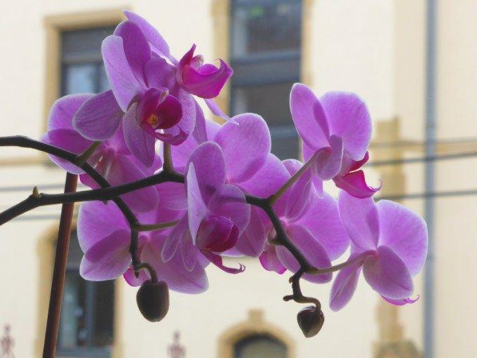 faire refleurir une orchidée (1)