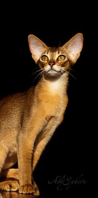 Abissinian Cat's are my fav!