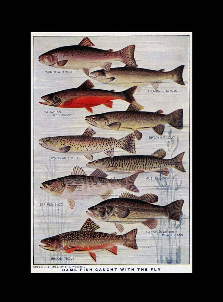 74 best fish prints images on pinterest fishing fishing for Freshwater fishing games