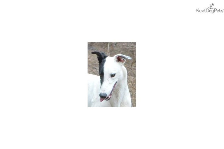Greyhound puppy for sale near Pueblo, Colorado | c0fa0d1e-8981