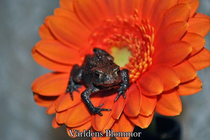 Frog can also be a fotomodel Världens Blommor Flowershop Sweden Find us on: PINTEREST FACEBOOK TWITTER INSTAGRAM GOOGLE PLUS GOOGLE MAPS YOUTUBE WWW.VARLDENSBLOMMOR.SE