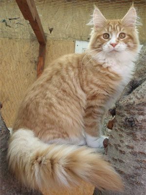 Maine Coon, red tabby mackerel & white (d 09 23). Charmant Chatte Marsall
