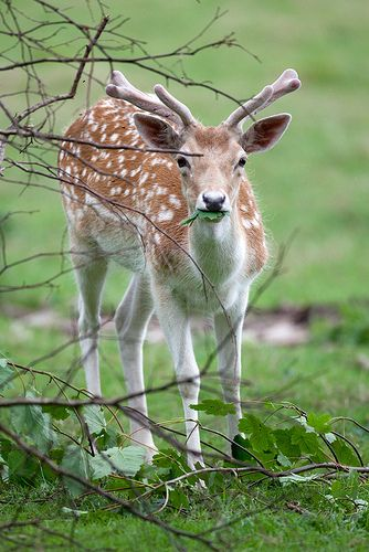 Fallow+deer                                                                                                                                                                                 More