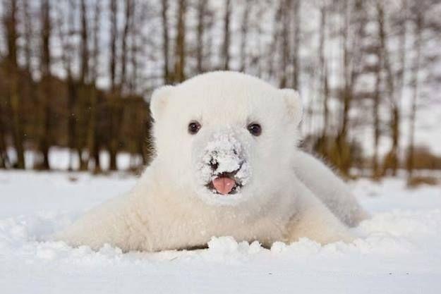 So Cute Baby Polar Bear Playing In Snow