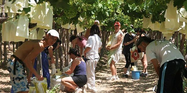 Embolsado Uva, Doscientos millones de bolsos se colocan manualmente en el Valle del Vinalopó