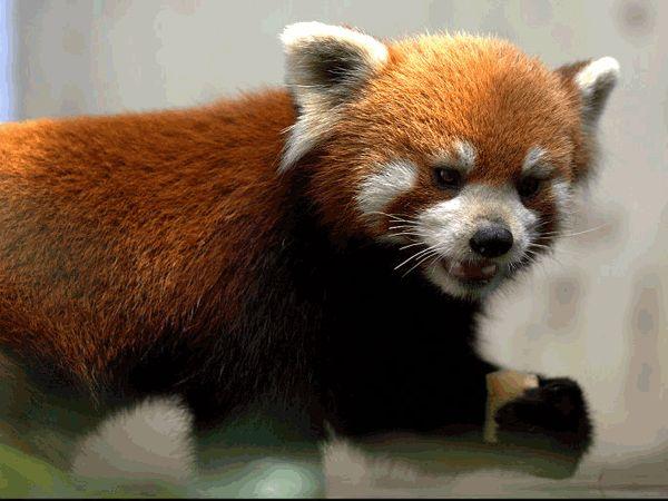 Red panda   Red Panda Diet