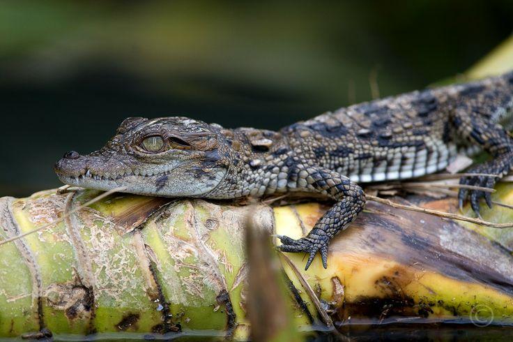 Baby Mugger Crocodile