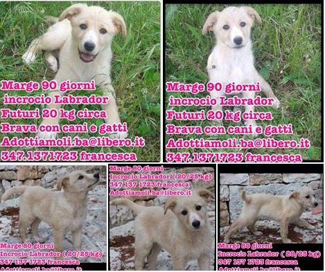 Labrador in adozione