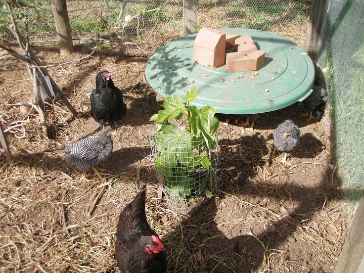 Comprehensive guide to Managing Backyard Chickens including providing fresh shoots.