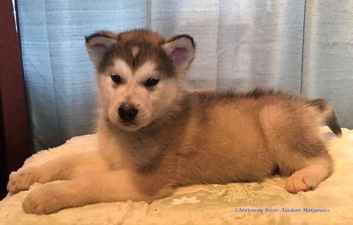 Alaskan Malamute puppy for sale in COURTLAND, VA. ADN-26695 on PuppyFinder.com Gender: Male. Age: 8 Weeks Old