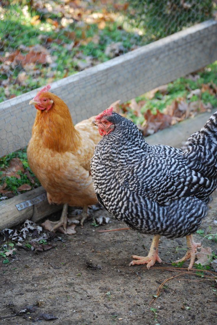 1396 best chicken u0027s for fun images on pinterest country living