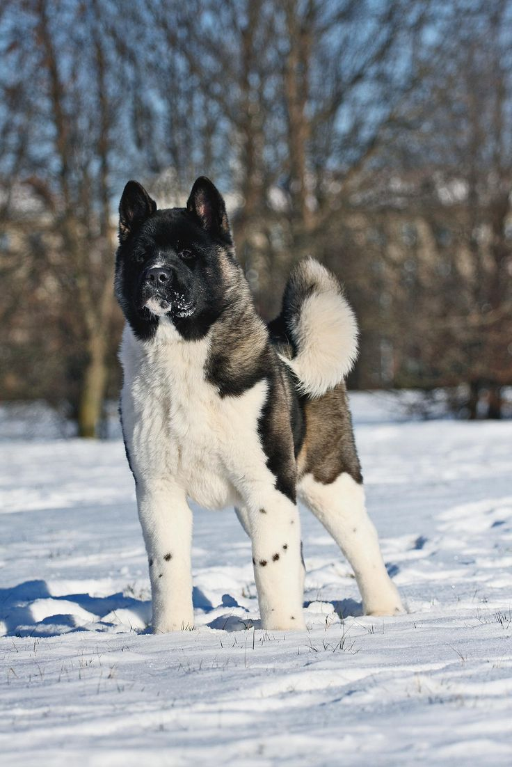 A Akita Dog Best 25+ Akita ideas o...
