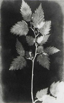 WILLIAM HENRY FOX TALBOT. Botanical Specimen, 1839. Photogenic drawing. Royal Photographic Society, Bath, England.