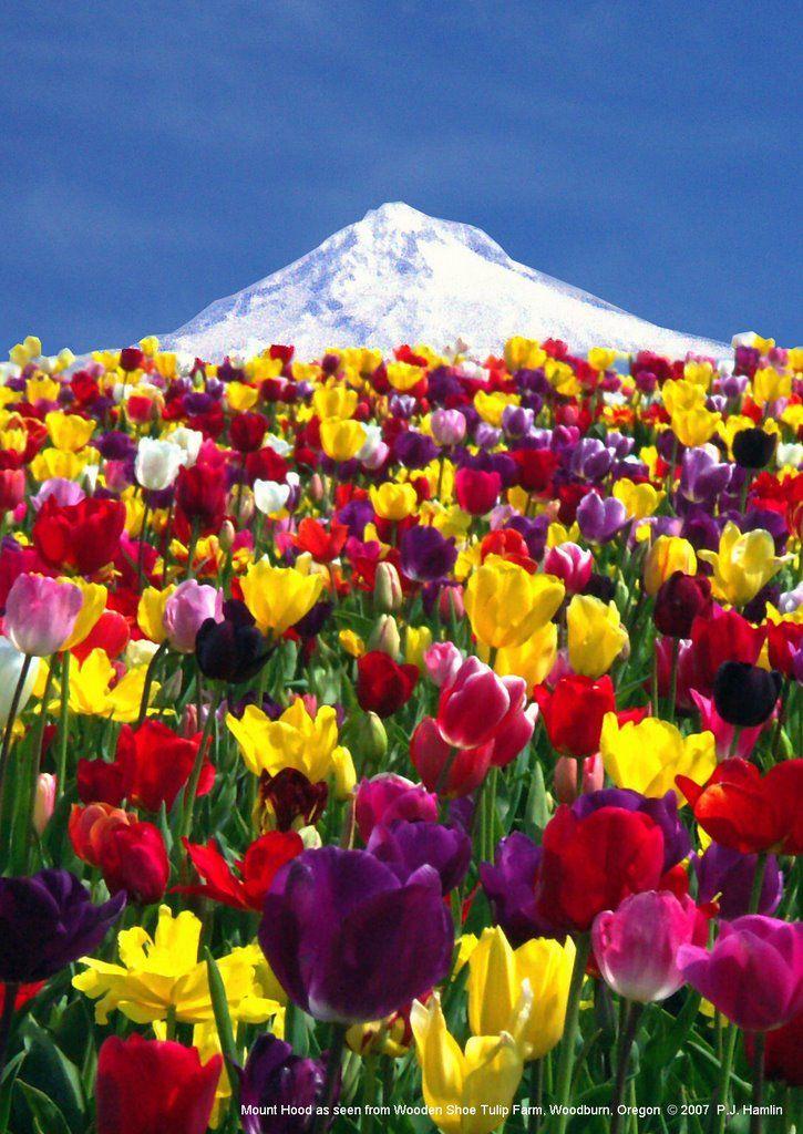 Mount Hood from Wooden Shoe Tulip Farm, Oregon