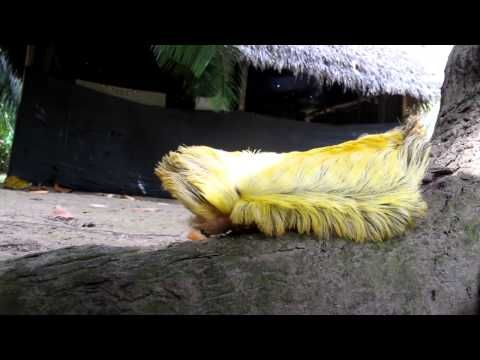 Massive Flannel Moth Caterpillar or  Megalopygidae (look at this furry little fauxhawked mudderfudder!!!! what a cutie !!!! )