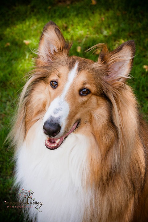 I love the collie dog - but you don't see them very often in Denmark anymore
