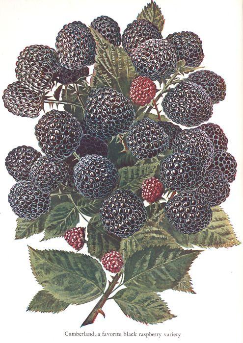 genusspecies: Rubus occidentalis Black Raspberry.