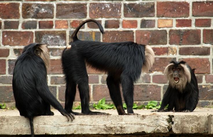 Monkeys in the Leipzig zoo.   Zoo, Photo, Leipzig
