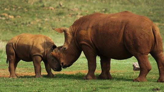 Animal sorrow . . . Poachers Completely Wipe Out African Rhinos in Mozambique ...