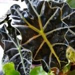 Alocasia Plants Articles - Gardening Know How