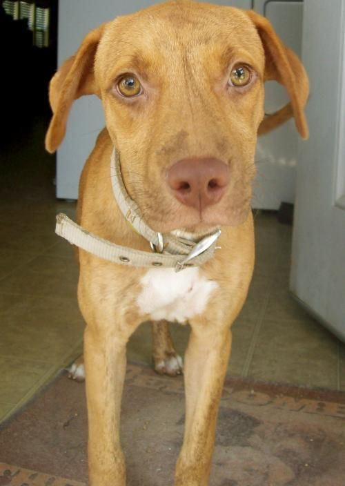 San Antonio - Meet Ace, a Petfinder adoptable Vizsla Dog   Olympia, WA   Ace has a trick up his sleeve!! He wants YOU to guess why he is such a fantastic puppy and YOU will...