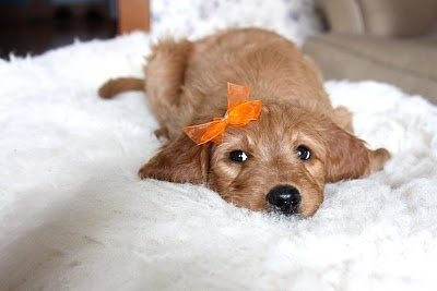 Here is adorable penny! One of our dog's golden doodle puppies