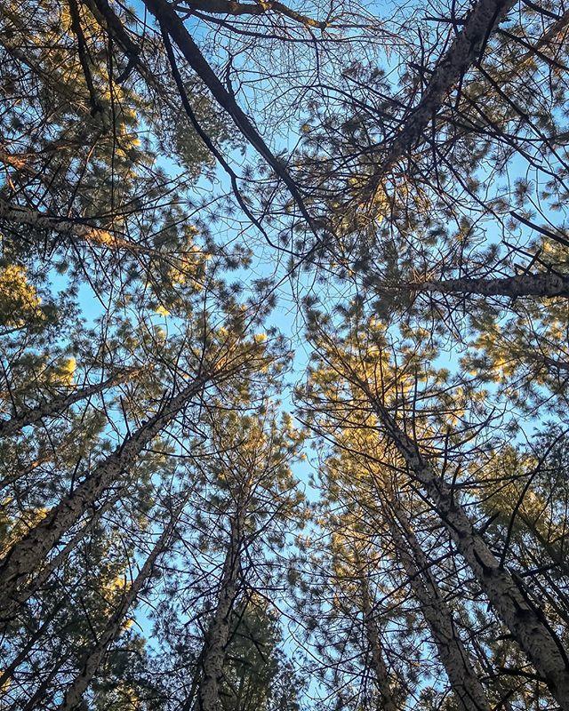 #pinetrees #pine #trees #lookingup #sky #iphonephoto #iphone7plus #iphonephotography #sauravphoto Prints @ www.sauravphoto.com