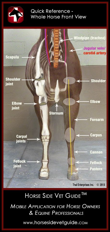 Here is another one of the Horse Side Vet Guide QUICK REFERENCE image. The Front Limb view and the idea of these images is just to provide the basic landmarks horse people need to know. All 15 of these are always on your phone or tablet when you have the Horse Side Vet Guide app. You can also see them here. http://horsesidevetguide.com/vitals-and-anatomy #horsevet