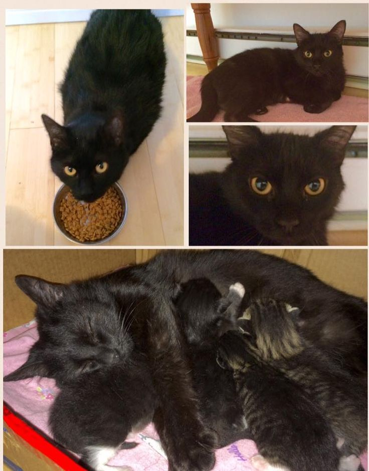 #Montreal ~ AVAILABLE FOR ADOPTION - CLEOPAWTRA  Female Cleopawtra was saved from a cold winter outside and brought into a foster home where she gave birth to 4 beautiful kittens. Now that her babies have all found their furever homes, Cleo will soon be ready for hers. Although she is a bit timid with new people, it does not take her long to get comfortable. Once she knows she can trust you she loves to be petted and cuddled. <3 www.facebook.com/cause4paws
