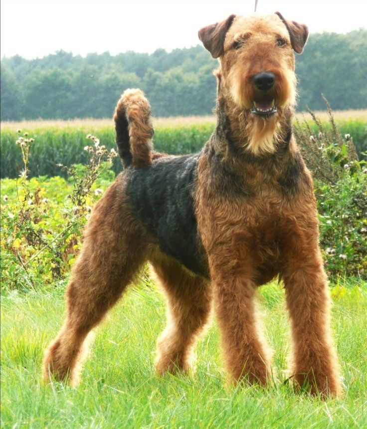 1602 best images about airedale terriers on pinterest. Black Bedroom Furniture Sets. Home Design Ideas