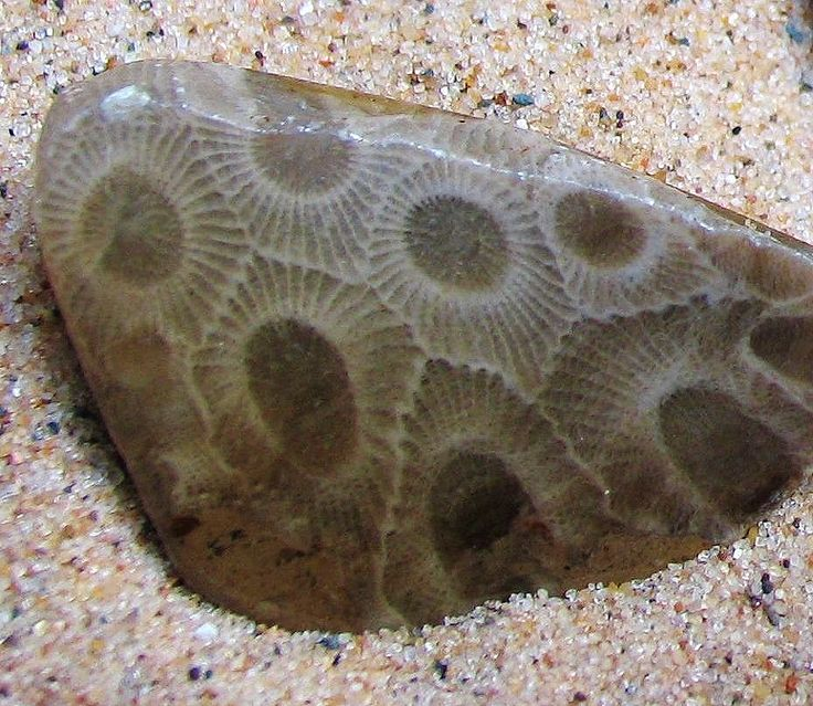 Petoskey Stone, Michigan State Rock - composed of fossilized coral, Hexagonaria percarinata, found in and around the Lake Michigan shores (Petoskey, MI). How could coral have thrived here? 350 million years ago during the Devonian Time Period much of North America was covered by warm shallow seas. Later, the stones formed as a result of glaciation, in which sheets of ice plucked stones from the bedrock, grinding off their rough edges.