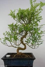 """Résultat de recherche d'images pour """"faux poivrier bonsai"""""""