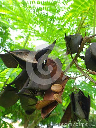 Caesalpinia sappan is a species of flowering tree in the legume family, Fabaceae, that is native to Southeast Asia.     Bakkum wood, bois sappan, brasilete, Brazil wood, brazilwood tree, brezel wood, Bukkum wood, false sandalwood, gango, Indian redwood, Japan wood, maikpan, patang, patanga-chekke sappanga, red bud, sappan caesalpinia, sappan lignum, sappan wood tree, sappanga, sappanwood, sappan-wood, sechang, sepang, setjang, sibukao or teinnyet.