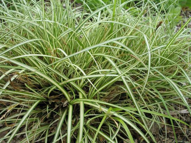 For shady bed, evergreen, 3045cm Ornamental grasses