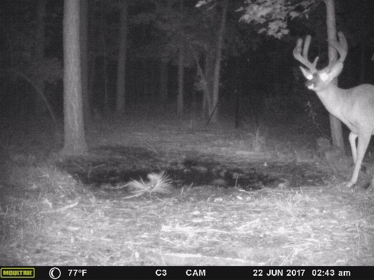 Full rack in June. Some amazing bucks on the @moultrieproducts so far.  #hunt #hunting #deer #whitetail #whitetails #trailcam #trailcamera #bow #bowseason #velvetbucks #mineral #antlerking #beararchery http://misstagram.com/ipost/1552954527200429316/?code=BWNM-oiHcUE