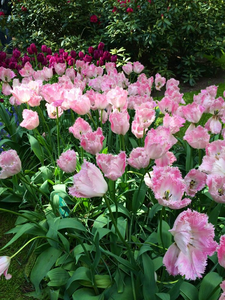 Fluffy tulips!