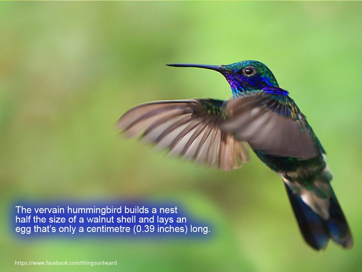 The vervain hummingbird builds a nest half the size of a walnut shell and lays an egg that's only a centimetre (0.39 inches) long.