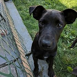 Pictures of Josh a Labrador Retriever for adoption in Harrisville, RI who needs a loving home.