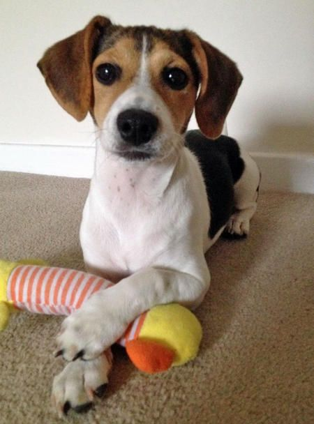 Phoebe the Beagle Mix -- Puppy Breed: Beagle / Jack Russell Terrier