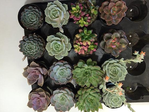 Succulent Plants - 30 Party Pack  For Terrariums, Wedding, Favors, Centerpieces, Boutonnieres and More